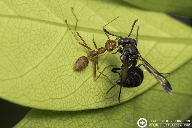 A hymenopteran fight