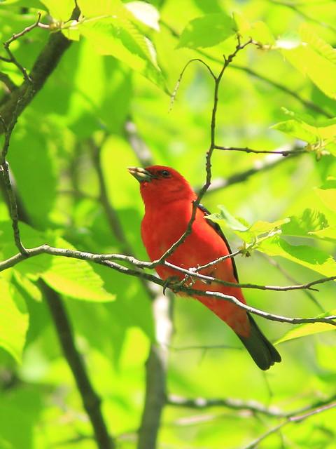 Scarlet Tanager 5-20150521