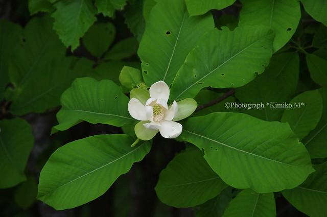 朴の木の花1