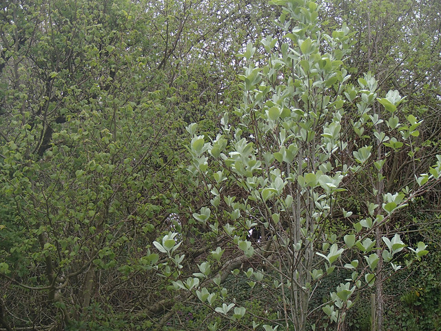 whitebeam 8may15
