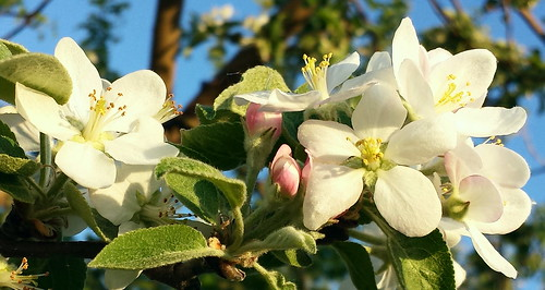 Delicate Apple Blossoms
