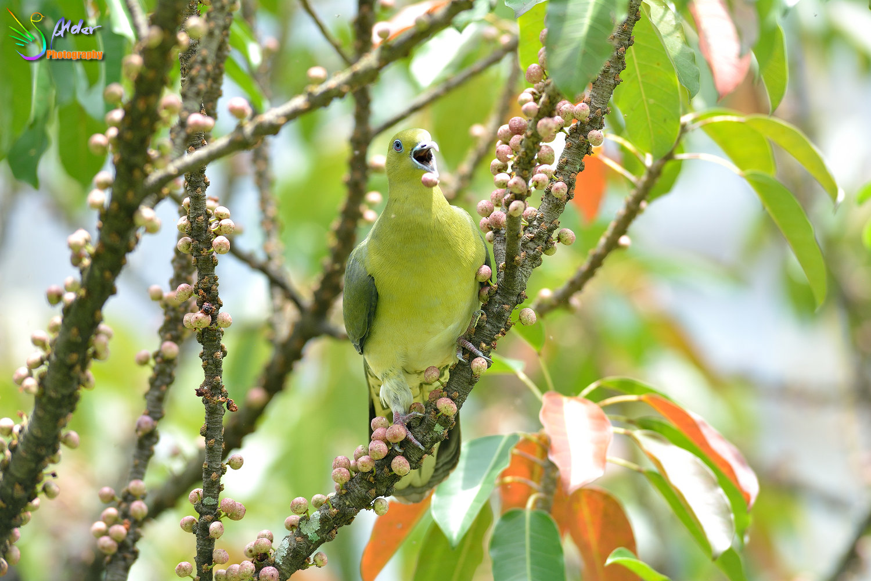 Japanese_Green_Pigeon_8564