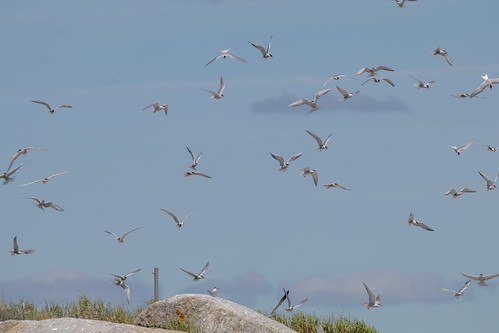 Terns over Eastern Egg Rock