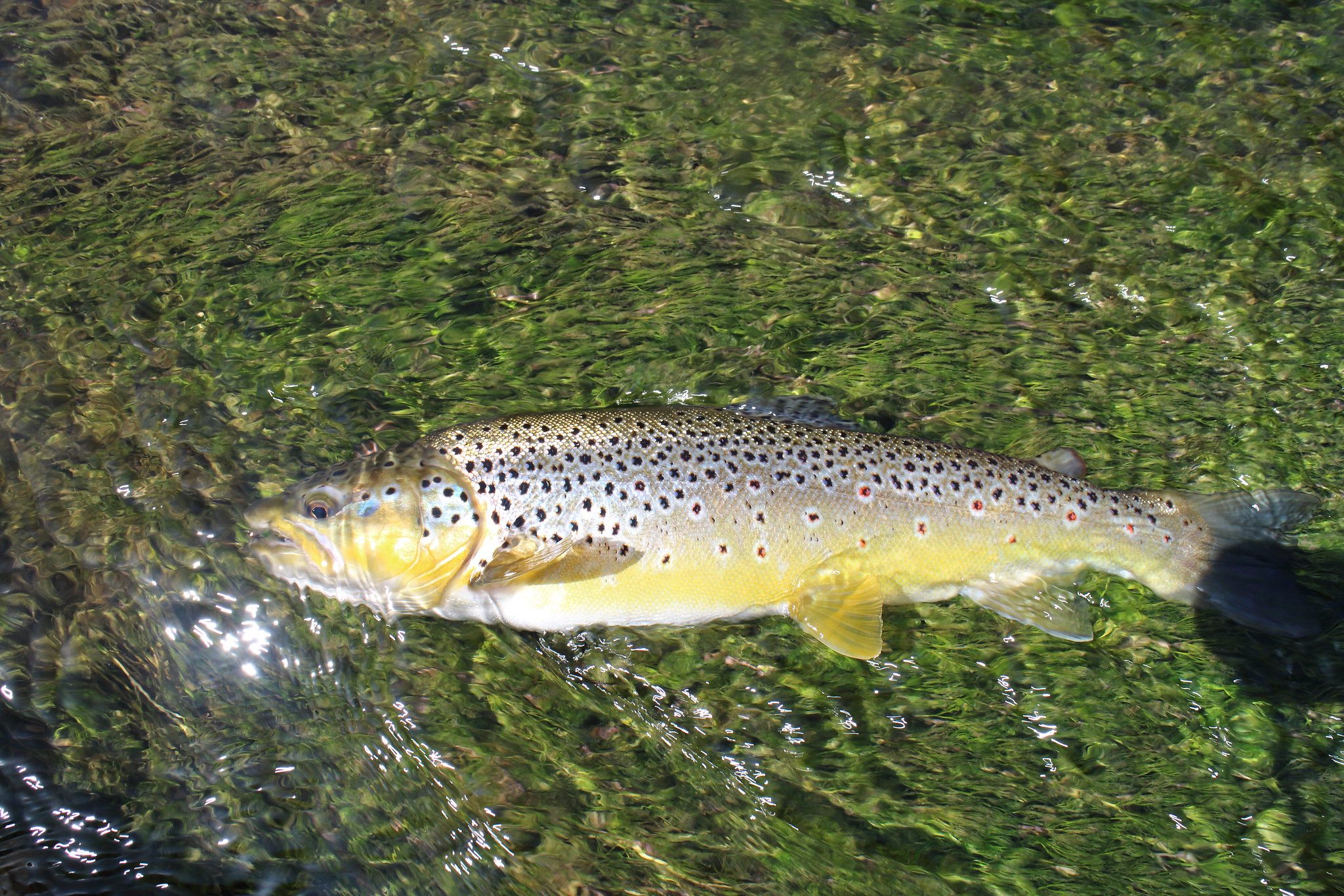 "17"" 2lb 6oz Brown Trout"