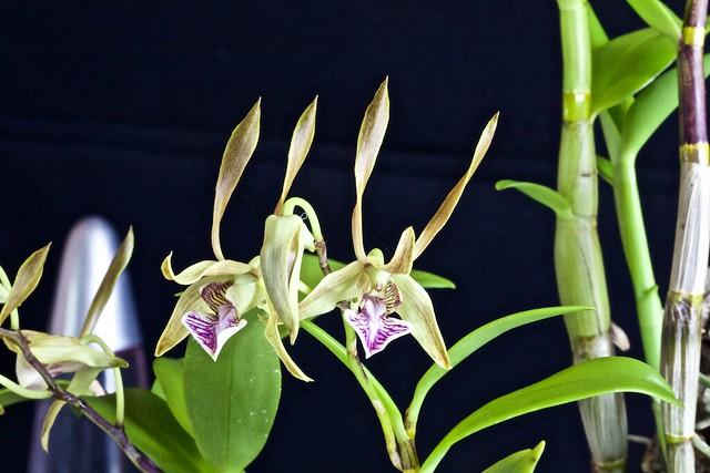 Dendrobium bicaudatum 18349941875_92ceab2fd2_z