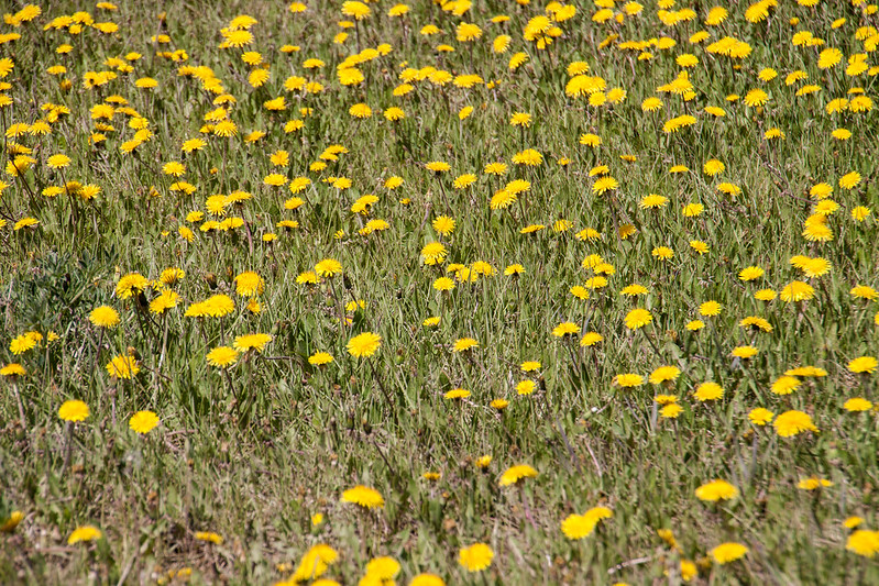 A Field Of Yellow
