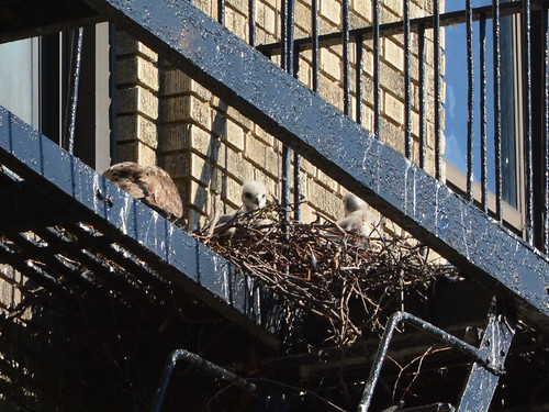 JHW Hawk Nest - 1525