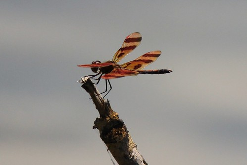 IMG_4132_Dragonfly
