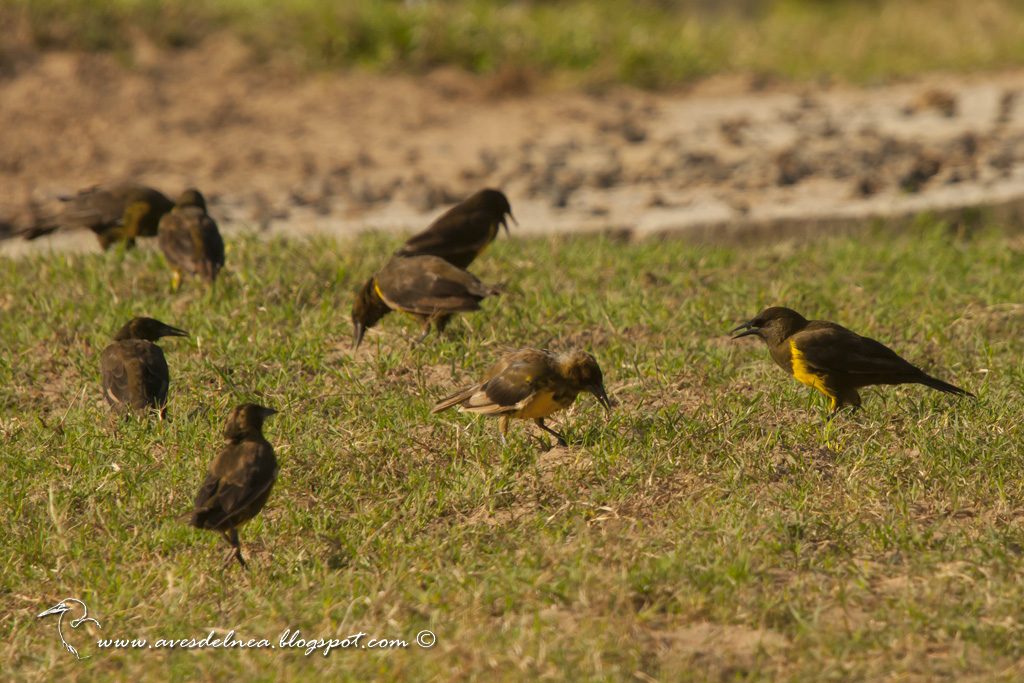 Pecho amarillo común (Brown-and-yellow Marshbird) Pseudoleistes virescens
