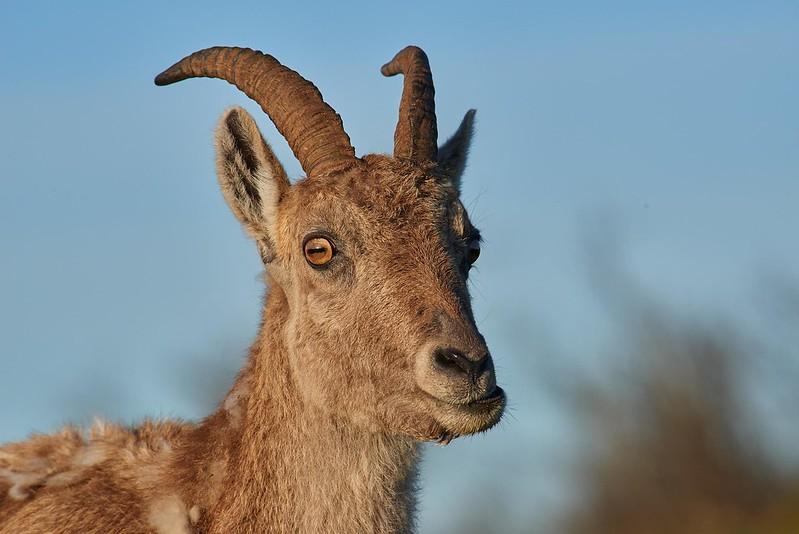 Alpine ibex - Creux du Van (3)