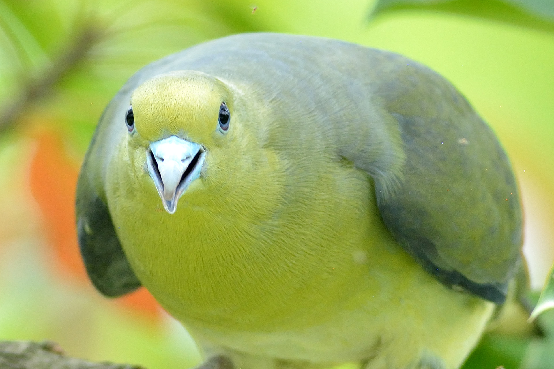 Japanese_Green_Pigeon_8711_O