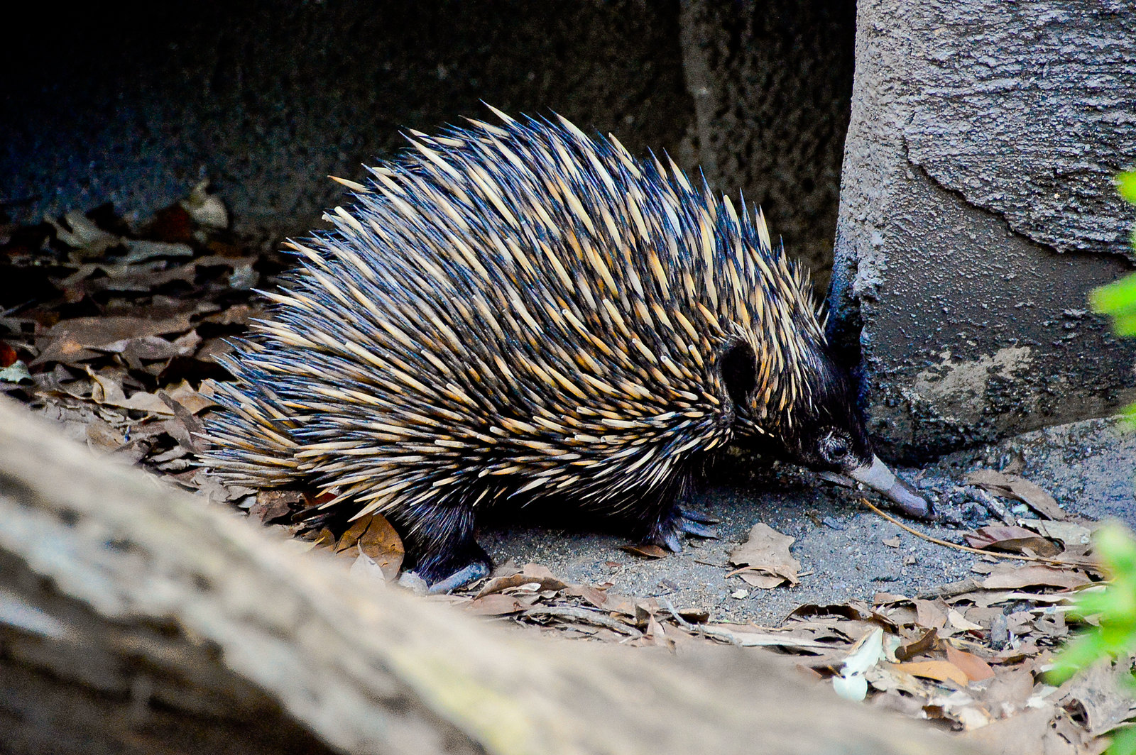 Currumbin Wildlife Sanctuary Echidna