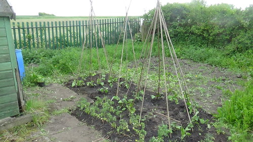 Marley Hill allotment May 15 5