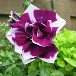 Petunia blackcurrant ripple