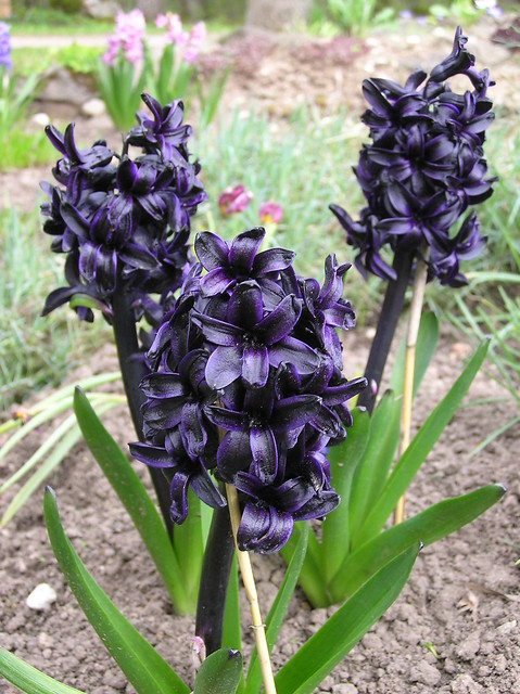 Hyacinthus orientalis 'Dark Dimension'