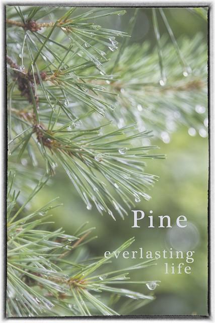 IMG_0749 Pine