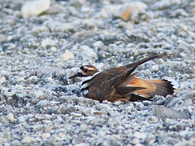 Killdeer distraction display 20150527
