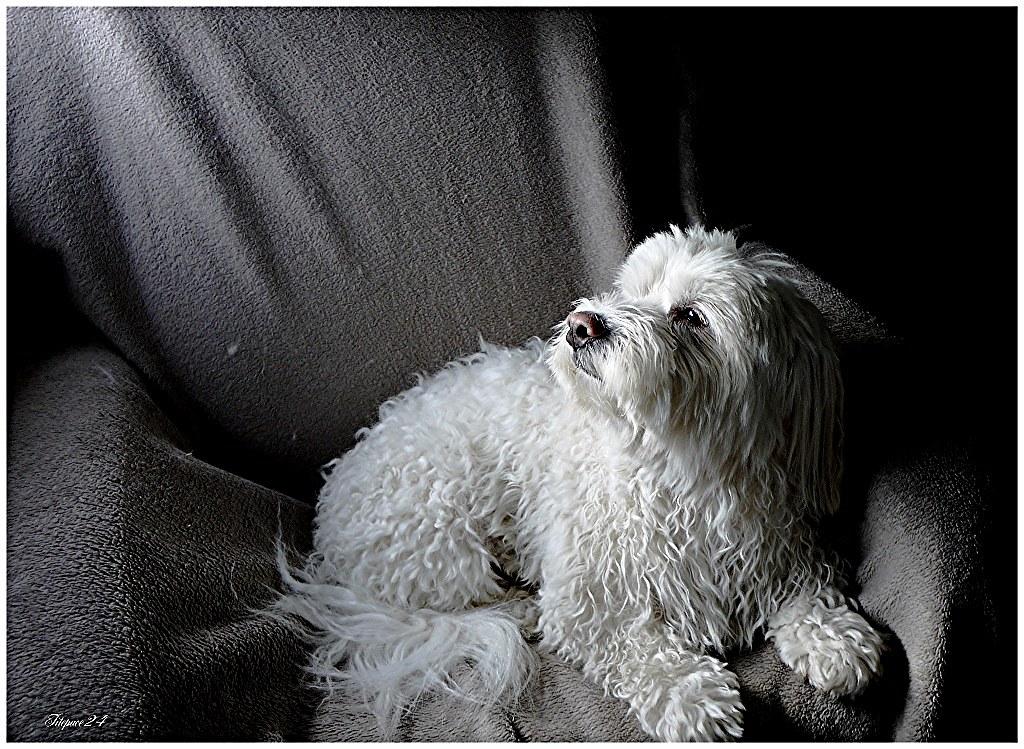 Un amour de chien,mon coton Gribouille 29609779075_f82651b518_b