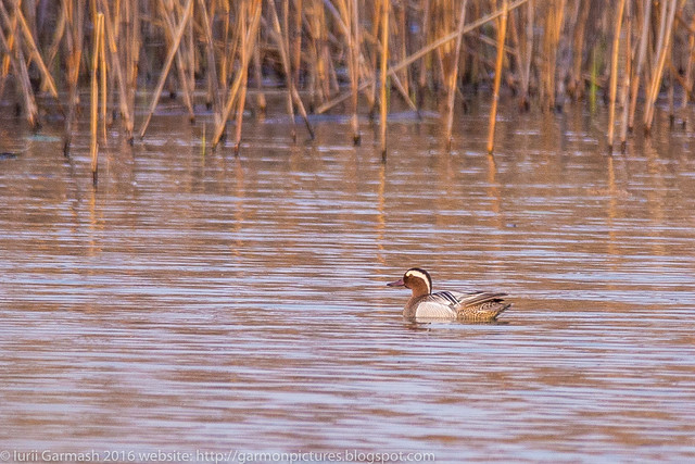 Garganey ducks