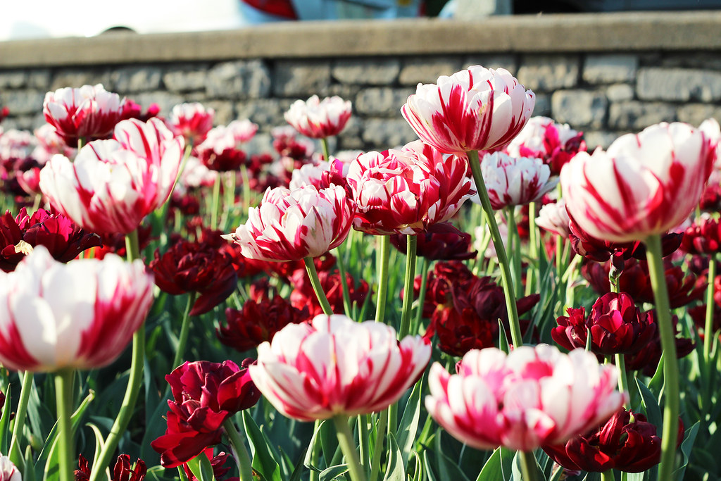 Tulip red white