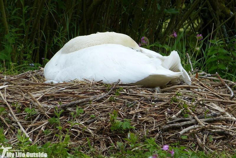 P1120905 - Mute Swan, Lathkill Dale