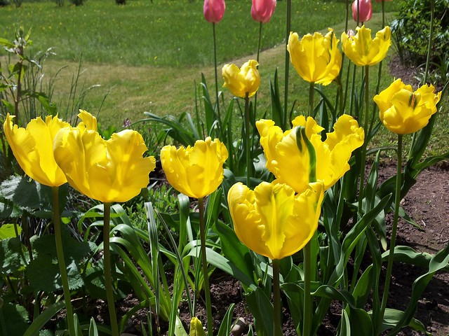 Tulipa 'Texas Gold'
