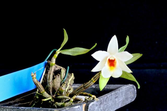 Dendrobium margaritaceum 17416110748_f579c32184_z