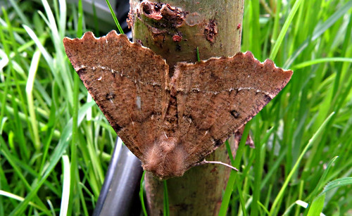 Scalloped Hazel Odontopera bidentata Tophill Low NR, East Yorkshire May 2015