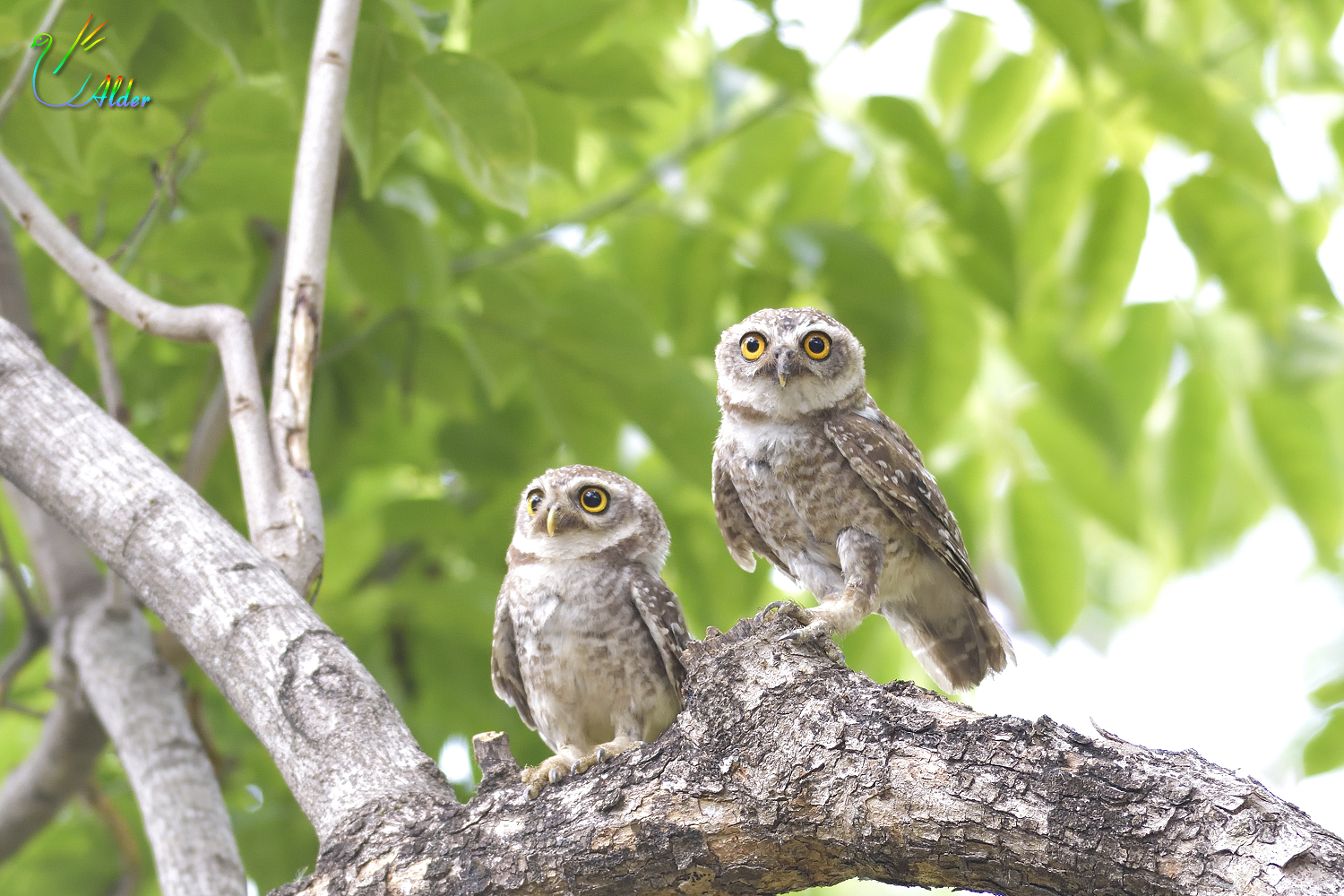 Spotted_Owlet_6104