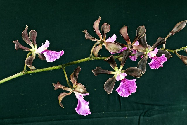 Encyclia cordigera var roseum 17343381424_460c2e78ff_z