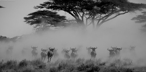 Wildebeest running for life