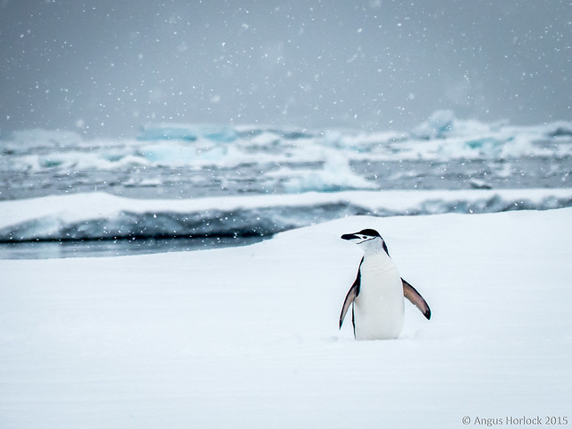 Lost Chinstrap Penguin