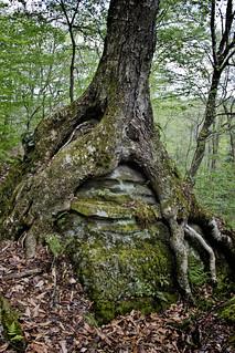 IMG_4549 Tree on Rock