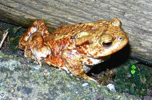 DSCN4442 Toad