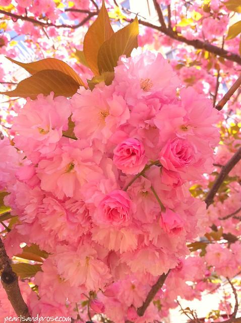 kwanzan_blossoms2_web