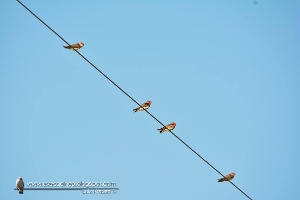 Golondrina cabeza rojiza (Tawny-headed swallow) Alopochelidon fucata
