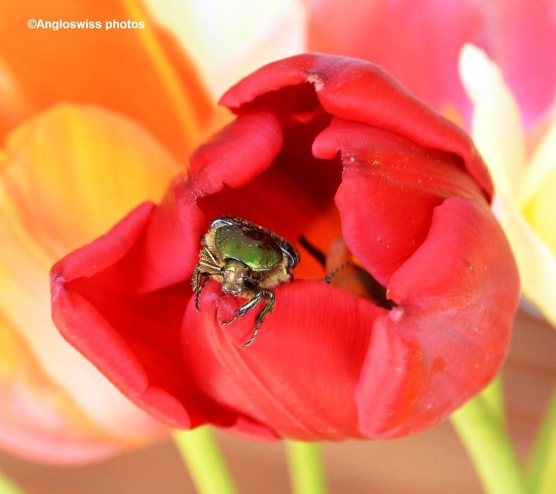 Rose chafer leaving tulip