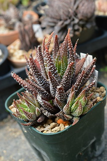 Haworthia attenuata Fish River, E of Humansdorp ハオルチア アッテヌアータ