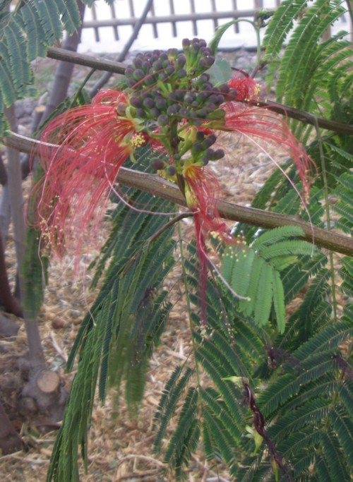 Calliandra houstoniana 17574417774_ab2e90ae75_o