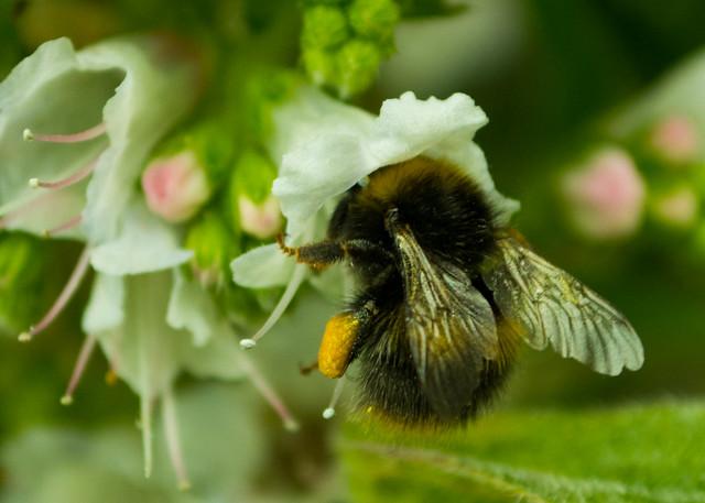 20150523-11_Echium Pininana - Bumble Bee - Heavy Crop