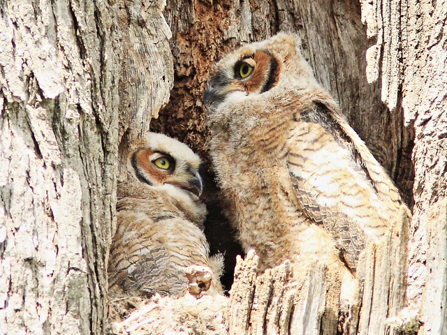 Great Horned Owl owlets 3-20150507