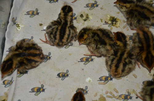 quail chicks May 15 1