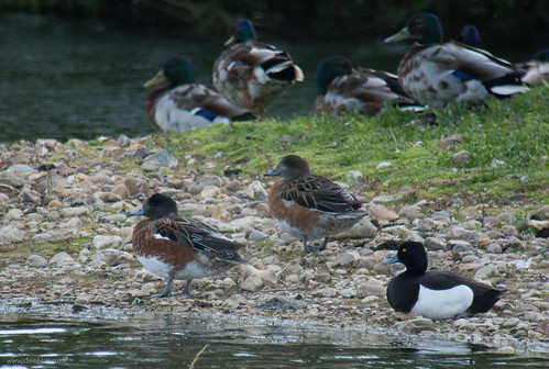 Probably Chiloe Wigeon x Wigeon hybrids, Derek Whites Eggs pit, 2nd June 2015