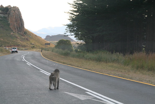 Baboon Crossing in Golden Gate Highlands