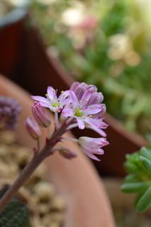 Ledebouria galpinii  レデボウリア ガルピニー