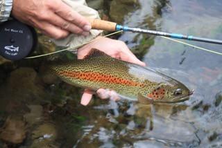 wild trout mckenzie river