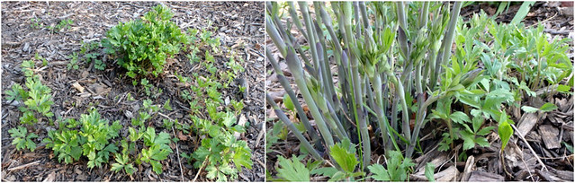 snowdrop anemone seedlings around the mature plant, and around a false indigo