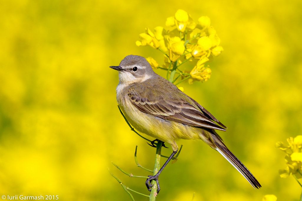 Western yellow wagtail on a rapeseed field