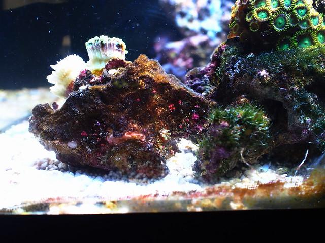 P8119582 榔頭珊瑚