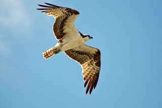 Osprey 4_22_2012 3 (1 of 1) | by Christopher Koerner